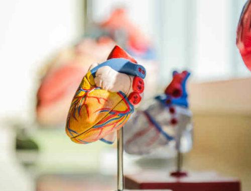 Modellino anatomico cuore