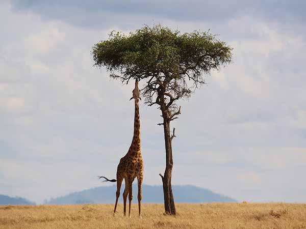 giraffa mangia foglie